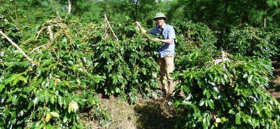 Plantation du café vietnamien