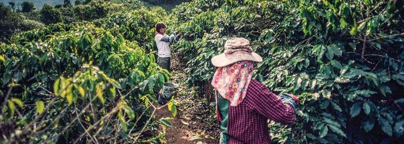 Récolte du café région de Daklak au Vietnam