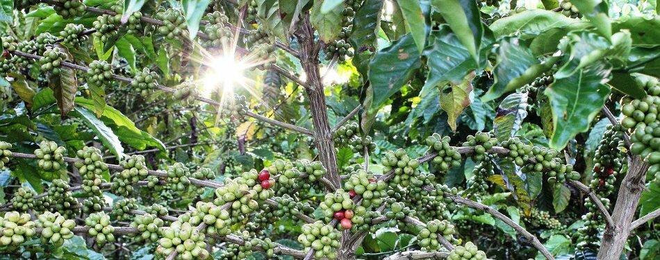 Farming Robusta and Arabica Coffee Fields