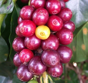 Harvesting and production of quality organic coffee in Vietnam