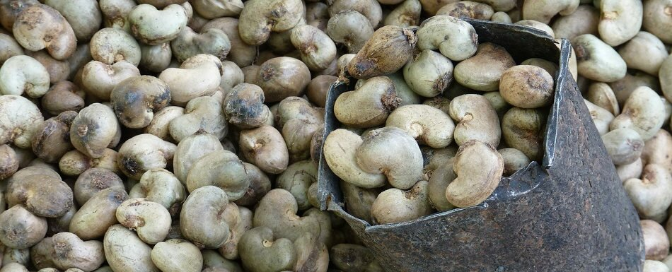 Processing, storage and export of cashew nuts