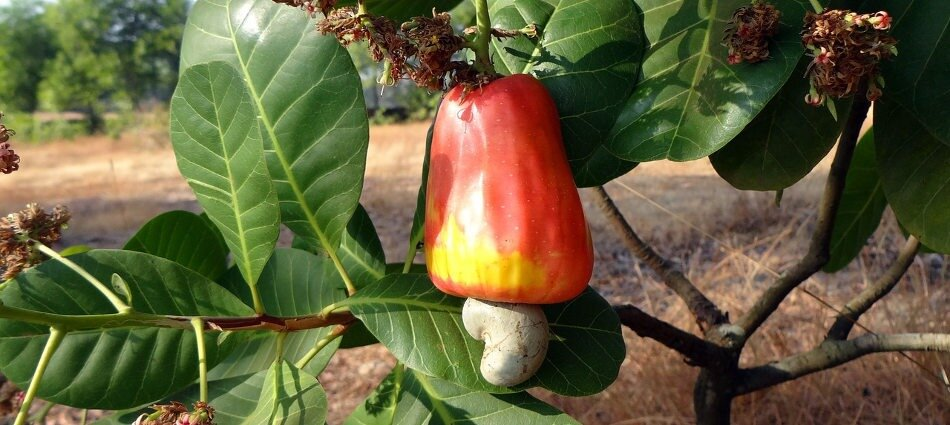 Sourcing and harvesting of cashew nuts for export