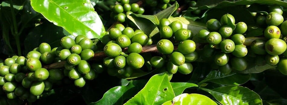 Sourcing suppliers of coffee beans farmers in Vietnam for export