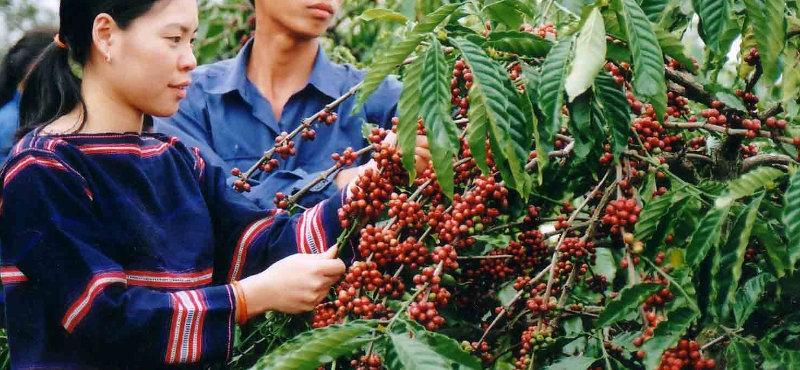 Agriculture et champs de café robusta et arabica