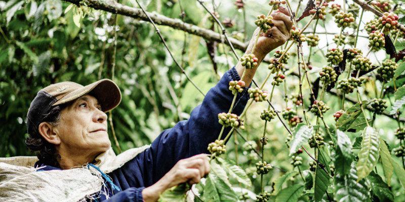 Récolte et production de café biologique de qualité au Vietnam